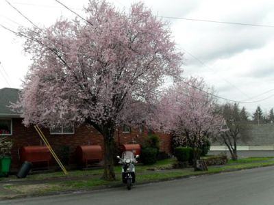 The cherry trees are confused